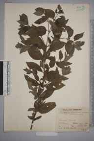 Mentha arvensis x aquatica = M. x verticillata herbarium specimen from Blakedown, VC37 Worcestershire in 1937 by Mr Job Edward Lousley.
