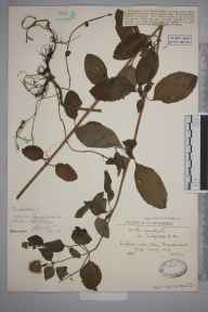 Mentha aquatica herbarium specimen from Frensham, Great Pond, VC17 Surrey in 1926 by David Guthrie Catcheside.