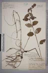 Mentha aquatica herbarium specimen from Denny Bog, VC11 South Hampshire in 1929 by Mr Job Edward Lousley.