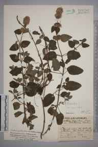 Mentha arvensis x aquatica = M. x verticillata herbarium specimen from Holmsley Station, VC11 South Hampshire in 1929 by Mr Job Edward Lousley.