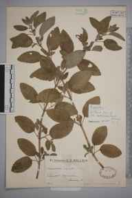 Mentha aquatica herbarium specimen from Merrow, VC17 Surrey in 1934 by Mr Edward Charles Wallace.