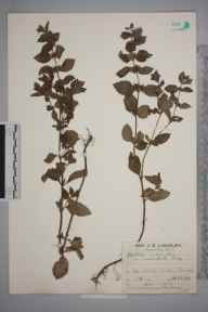 Mentha arvensis x aquatica x spicata = M. x smithiana herbarium specimen from Esher, VC17 Surrey in 1928 by Mr Job Edward Lousley.