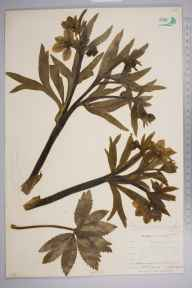 Helleborus viridis herbarium specimen from Newquay, VC1 West Cornwall in 1904 by Dr Chambre Corker Vigurs.