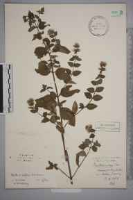 Mentha arvensis x aquatica x spicata = M. x smithiana herbarium specimen from Oxted, VC17 Surrey in 1933 by Stafford Edwin Chandler.