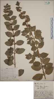 Mentha arvensis x aquatica x spicata = M. x smithiana herbarium specimen from Wendron, VC1 West Cornwall in 1907 by Mr Frederick Hamilton Davey.