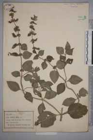 Mentha arvensis x aquatica x spicata = M. x smithiana herbarium specimen from Arley Ferry, VC37 Worcestershire in 1878.