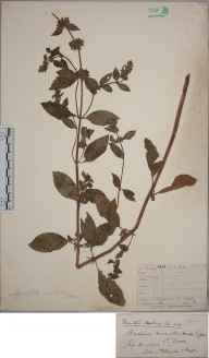 Mentha arvensis x aquatica x spicata = M. x smithiana herbarium specimen from Harraton, VC3 South Devon in 1878 by Mr Thomas Richard Archer Briggs.