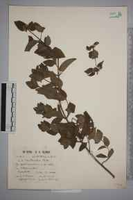 Mentha arvensis x aquatica x spicata = M. x smithiana herbarium specimen from Alphamstone, VC19 North Essex in 1928 by George Charles Brown.
