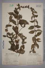 Mentha arvensis x aquatica x spicata = M. x smithiana herbarium specimen from Compton Abdale, VC33 East Gloucestershire in 1935 by Mr Job Edward Lousley.