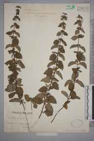 Mentha arvensis x aquatica x spicata = M. x smithiana herbarium specimen from Newdigate, VC17 Surrey in 1930 by Mr Edward Charles Wallace.