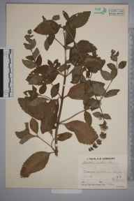 Mentha arvensis x aquatica x spicata = M. x smithiana herbarium specimen from Bourn, VC29 Cambridgeshire in 1934 by Mr Job Edward Lousley.