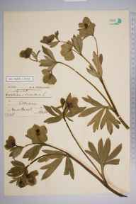 Helleborus viridis herbarium specimen from Selborne, VC12 North Hampshire in 1900 by Miss  Bacot.