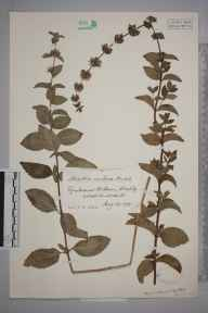 Mentha arvensis x aquatica x spicata = M. x smithiana herbarium specimen from Rowberrow, VC6 North Somerset in 1915 by Mr James Walter White.