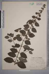 Mentha arvensis x aquatica x spicata = M. x smithiana herbarium specimen from Winchfield, VC12 North Hampshire in 1935 by Mr Arthur Langford Still.
