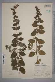 Mentha arvensis x aquatica x spicata = M. x smithiana herbarium specimen from Perranworthal, Tresamble, VC1 West Cornwall in 1936 by Mr Job Edward Lousley.