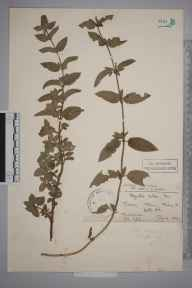 Mentha arvensis x aquatica x spicata = M. x smithiana herbarium specimen from Leith Hill, VC17 Surrey in 1899 by Mr Charles Edgar Salmon.