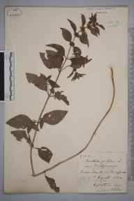 Mentha arvensis x spicata = M. x gracilis herbarium specimen from Hereford, VC36 Herefordshire in 1882 by Rev. Augustin Ley.