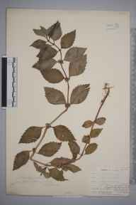 Mentha arvensis x spicata = M. x gracilis herbarium specimen from Davidstow, VC2 East Cornwall in 1902 by Dr Chambre Corker Vigurs.