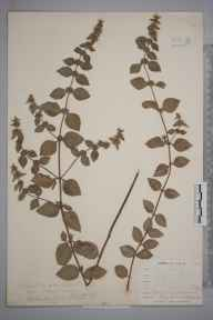 Mentha arvensis x spicata = M. x gracilis herbarium specimen from Ponsanooth, VC1 West Cornwall in 1899 by Mr Frederick Hamilton Davey.