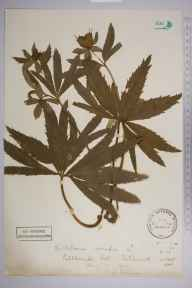Helleborus viridis herbarium specimen from Pebble Coombe, VC17 Surrey in 1904 by Henry Franklin Parsons.
