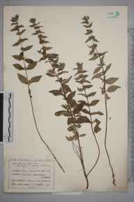 Mentha arvensis x spicata = M. x gracilis herbarium specimen from Cleeve Hill, VC33 East Gloucestershire in 1915 by Mr Charles Bailey.