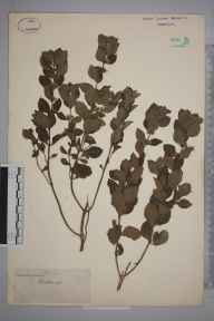 Mentha arvensis x spicata = M. x gracilis herbarium specimen from Woodleigh, VC3 South Devon in 1843 by Joseph Woods.