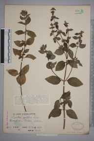 Mentha arvensis x spicata = M. x gracilis herbarium specimen from Broadham Green, VC17 Surrey in 1932 by Mr Charles Edward Britton.