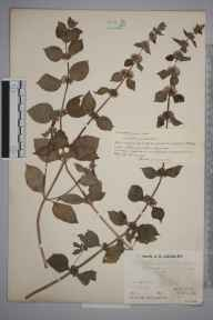 Mentha arvensis x spicata = M. x gracilis herbarium specimen from Oxted, VC17 Surrey in 1933 by Mr Job Edward Lousley.