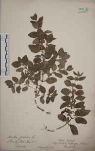 Mentha arvensis x spicata = M. x gracilis herbarium specimen from Sellack, VC36 Herefordshire in 1898.
