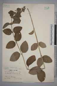 Mentha arvensis x spicata = M. x gracilis herbarium specimen from Wynch Bridge, VC66 County Durham in 1938 by Catherine Muriel Rob.