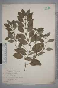 Mentha arvensis x spicata = M. x gracilis herbarium specimen from Gower, VC41 Glamorganshire in 1939 by Mr Arthur Langford Still.
