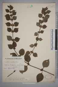 Mentha arvensis x spicata = M. x gracilis herbarium specimen from Oxted, VC17 Surrey in 1932 by Mr Edward Charles Wallace.