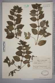 Mentha arvensis x spicata = M. x gracilis herbarium specimen from Sowerby Bridge, VC63 South-west Yorkshire in 1941 by Dr William Arthur Sledge.