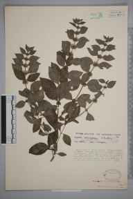 Mentha arvensis x spicata = M. x gracilis herbarium specimen from Nottingham, VC56 Nottinghamshire in 1933 by R Bulley.