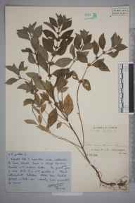 Mentha arvensis x spicata = M. x gracilis herbarium specimen from Gower, VC41 Glamorganshire in 1948 by Mr Job Edward Lousley.