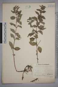 Mentha arvensis x spicata = M. x gracilis herbarium specimen from Erwood, VC42 Breconshire in 1935 by Mr Job Edward Lousley.