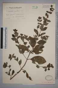 Mentha arvensis x spicata = M. x gracilis herbarium specimen from Perranarworthal, VC1 West Cornwall in 1935 by Mr Arthur Langford Still.