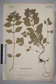 Mentha arvensis x spicata = M. x gracilis herbarium specimen from Hazeley Heath, VC12 North Hampshire in 1936 by Mr Arthur Langford Still.