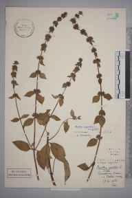 Mentha arvensis x spicata = M. x gracilis herbarium specimen from Oxted, VC17 Surrey in 1933 by Stafford Edwin Chandler.