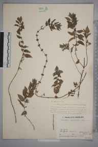 Mentha arvensis x spicata = M. x gracilis herbarium specimen from Shalford, VC17 Surrey in 1933 by Mr Job Edward Lousley.