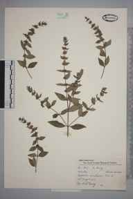Mentha arvensis x spicata = M. x gracilis herbarium specimen from Wimbledon, VC17 Surrey in 1957 by Charles Avery.