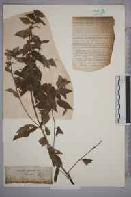 Mentha arvensis x spicata = M. x gracilis herbarium specimen from Shotover, VC23 Oxfordshire in 1888 by Mr George Claridge Druce.