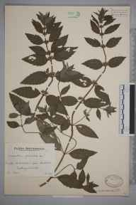 Mentha arvensis x spicata = M. x gracilis herbarium specimen from Aberarth, VC46 Cardiganshire in 1939 by Mr Arthur Langford Still.