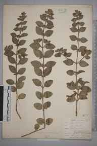 Mentha gracilis var. cardiaca herbarium specimen from Trewether, VC2 East Cornwall in 1901 by Mr Allan Octavian Hume.
