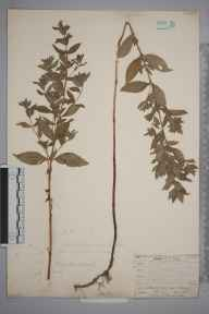 Mentha gracilis var. cardiaca herbarium specimen collected by Mr Frederick Townsend.