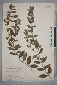 Mentha gracilis var. cardiaca herbarium specimen from Shalford, VC17 Surrey in 1933 by Mr Edward Charles Wallace.