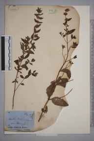 Mentha gracilis var. cardiaca herbarium specimen from Pengersick, Cornwall in 1878 by Mr James Cunnack.