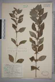 Mentha arvensis herbarium specimen from Ascot under Wychwood, VC23 Oxfordshire in 1930 by Mr George Claridge Druce.