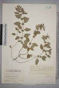 Mentha arvensis herbarium specimen from Amberley Wild Brooks, VC13 West Sussex in 1928 by Mr Edward Charles Wallace.