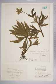 Helleborus viridis herbarium specimen from Otterbourne, VC11 South Hampshire in 1834.